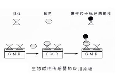 生物磁性传感器的工作原理